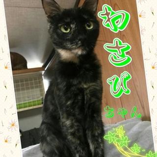 3/19(日)神戸譲渡会 わさびちゃん