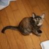 人前ではシャイな サビ猫きゃりーちゃんです サムネイル5