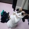 生きる為頑張ったハンデ有全盲でも性格◎の白三毛幼猫 サムネイル6