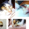 生きる為頑張ったハンデ有全盲でも性格◎の白三毛幼猫 サムネイル7
