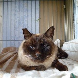 とても性格のいいブルーアイのシャム猫!