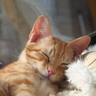 【募集停止】よく遊び、よく寝る♪ 元気な茶トラ
