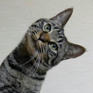 おっとり愛嬌タップリ!可愛いキジネコ君