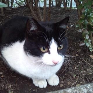 甘えん坊の公園猫 ハチわれのカギー