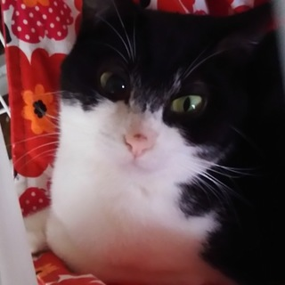 黒白猫のふみちゃん、左目に障害あり
