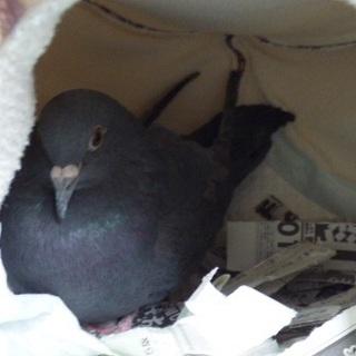 保護した鳩の里親さんを探しています。
