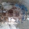 ミシシッピアカミミガメ2 サムネイル2