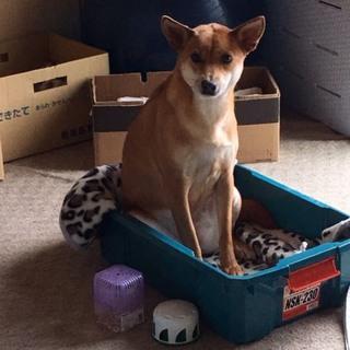 甲斐犬と柴犬のミックス 3歳6ヶ月