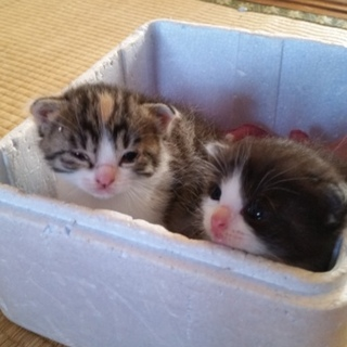 仔猫の里親募集します!