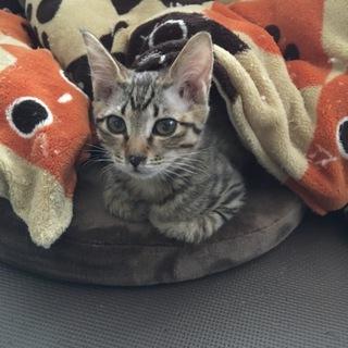甘えんぼうのキジトラ♂