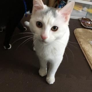 困り顔の白猫♂
