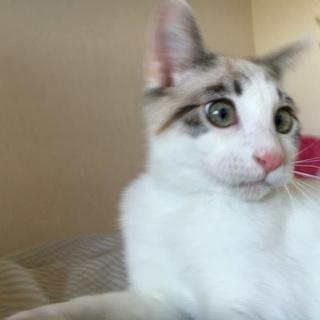 1歳6ヶ月の白猫オス!