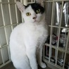 推定7ヶ月!個性的な白黒ブチ柄のシャイ猫、璃世