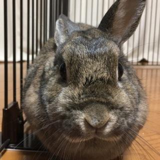 3歳になるミニウサギの里親を探しています。