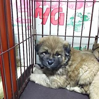 保健所救出犬!里親様緊急募集!!狼犬です。