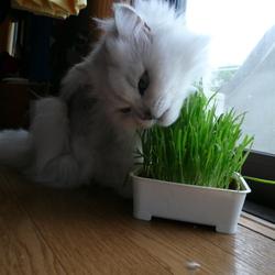 猫草。ムシャムシャ。。。