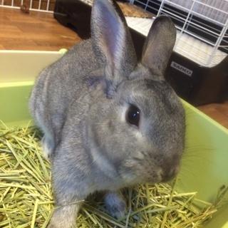 ウサギの里親を探しています。