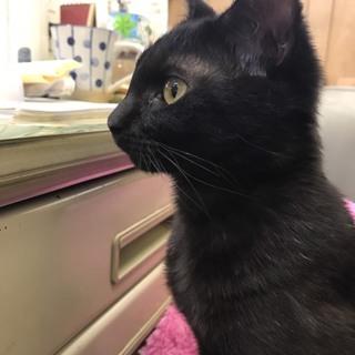 避妊済み♪黒猫ちゃん女の子、生後6ヶ月