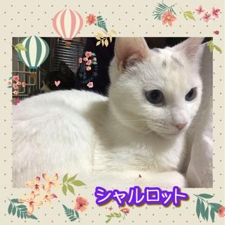3/26(日)神戸譲渡会 青い瞳のシャルロット