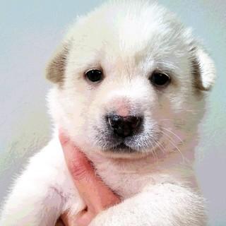 白&クリームのきれいな毛並み☆男の子