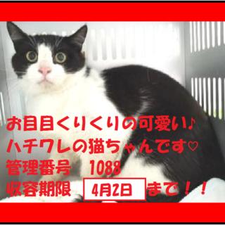 お目目クリクリのハチワレ猫ちゃん!期限4月2日迄!