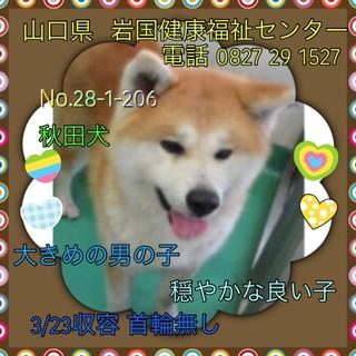 秋田犬の男の子 人慣れしている良い子です!