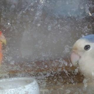 コザクラインコ 3歳 1歳ペア 2羽同時