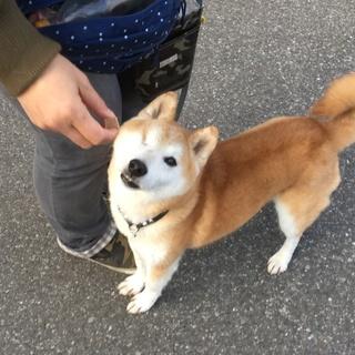 穏やかな片目の柴犬の男の子