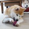 若くて落ち着きのある秋田犬の男の子 サムネイル6