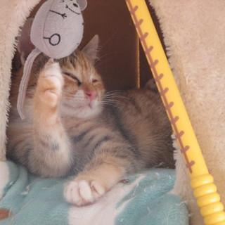 可愛い幼猫りなんの里親さま募集