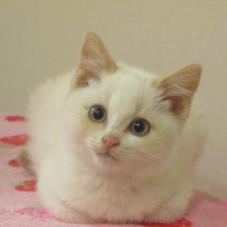 かわいい幼猫ウィルの里親さま募集。