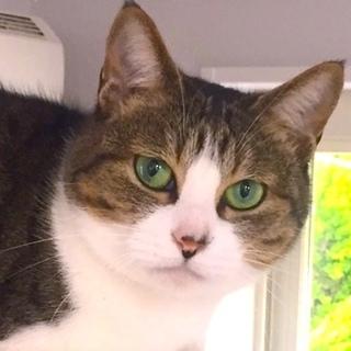 グリーンの目がとても綺麗な,寂しがりやの猫です