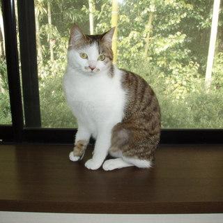 かわいい三毛子猫さん女の子です。