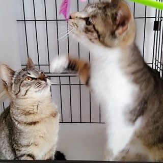 リリース予定だったキジ系美猫ペア4カ月&5カ月