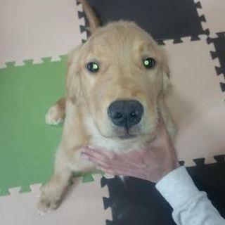 ゴールデン・レトリーバー子犬