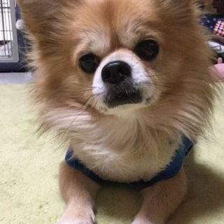 チワワ7歳、飼育放棄犬です