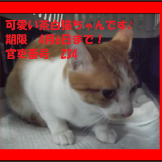 可愛い茶白の猫ちゃんです!期限4月6日迄!