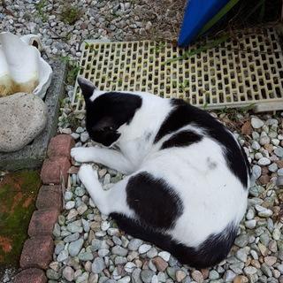 岩国市で猫の里親募集中です