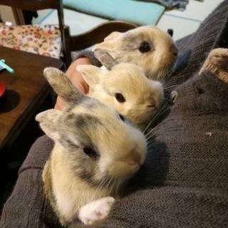 仔ウサギの里親様募集