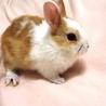 仔ウサギの里親さん募集(個体P)