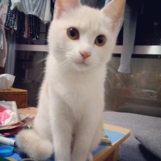 白茶の美人猫ちゃん