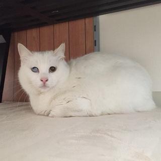 ふくふくおもちみたいなオッドアイの美人白猫さん♡