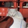 ふくふくおもちみたいなオッドアイの美人白猫さん♡ サムネイル7