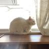 ふくふくおもちみたいなオッドアイの美人白猫さん♡ サムネイル5