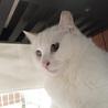 ふくふくおもちみたいなオッドアイの美人白猫さん♡ サムネイル4