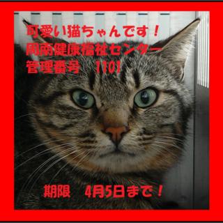 緊急!!まだ若い猫ちゃんです!期限4月5日迄!