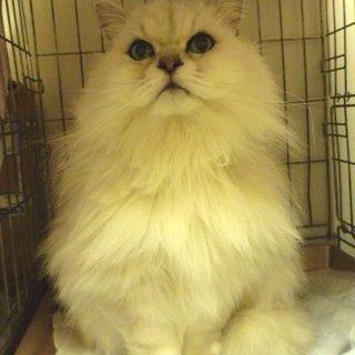 シニア猫チンチラシルバー:キャンディ14才です