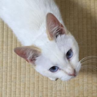 人馴れ抜群 シャム系子猫エリザベス