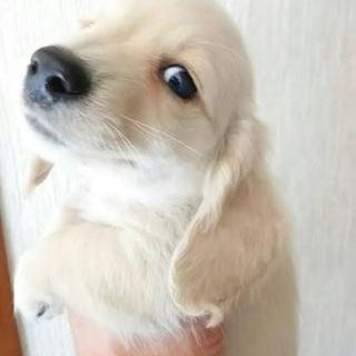 【繁殖所保護】生後46日!可愛い片目のダックス♂