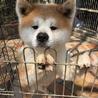 赤毛の秋田犬 オス ※必ず詳細をご覧ください。